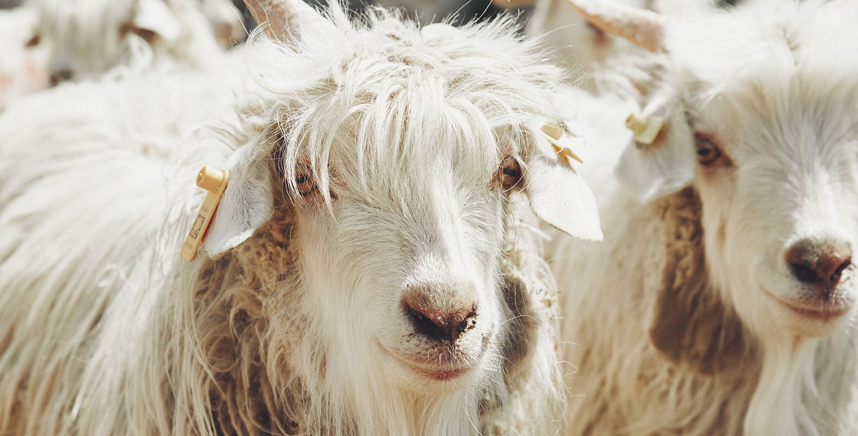 Our Cashmere - Soft Goat Online Cashmere